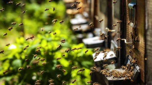 American Honeybees Are Doing Better In 2017